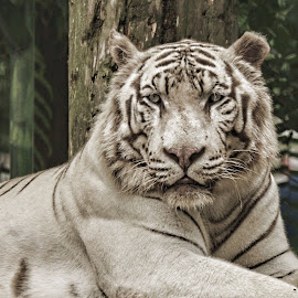 White Tiger by Yamin Tedja - Animals Lions, Tigers & Big Cats ( animal, white tiger, big cats, tiger, portrait )