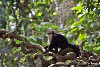 Photo: White-throated Capuchin Monkey @ Bosque del Cabo Lodge, Osa Peninsula