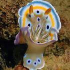 Goniobranchus geminus