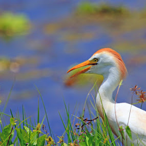 Cattle Egret by Shixing Wen - Animals Birds ( breading feather, wetlands, orlando wetlands park, nature photography, cattle egret, summertime, bird photography )