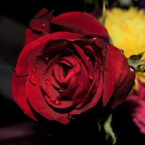 Passion Red Rose by Maria Epperhart - Flowers Flower Arangements ( rose, arrangement, red, flowers, garden,  )
