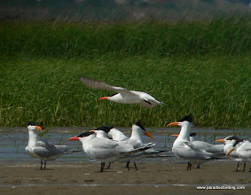 Photo: Royal Terns, Bolivar Flats Shorebird Sanctuary, upper Texas Coast