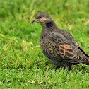 Dove  -  Dusky Turtle Dove