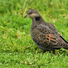Dove  -  Dusky Turtle Dove