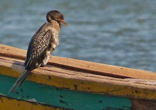 Photo: Vögel am Viktoriasee: Riedscharbe (Microcarbo africanus, Reed Cormorant)