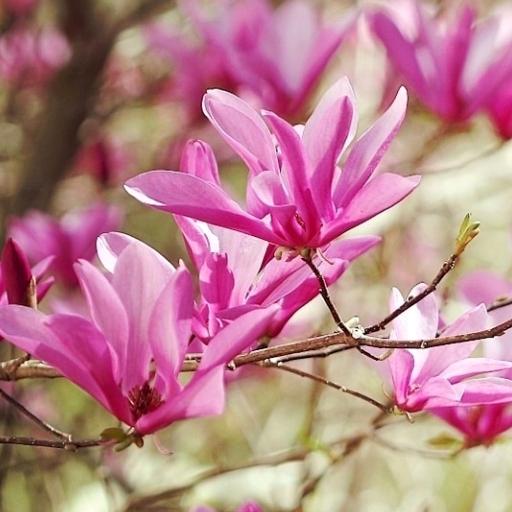 Magnolia datovania