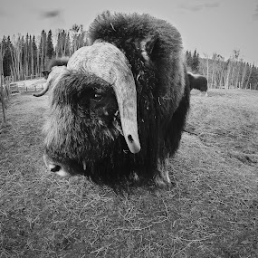 Musk Ox  by Jordan  Richardson - Black & White Animals ( horns, bulls, musk ox, alaska, farmlife )