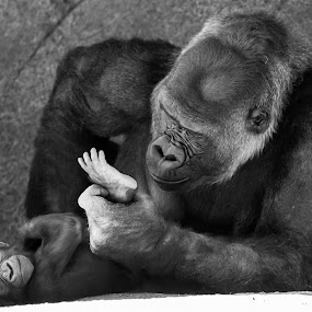 Foot Inspector by Tim Davies - Black & White Animals ( gorilla feet, baby feet, feet, gorilla, baby, mom, inspect,  )