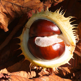 Chestnut by Sámuel Zalányi - Nature Up Close Other Natural Objects ( chestnut, fallen, fall, sunshine, leaves,  )