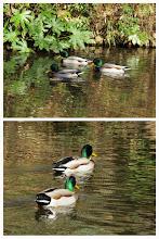 Photo: 撮影者:佐藤サヨ子 マガモ タイトル:頭部の色がとてもきれい! 観察年月日:2015年2月7日 羽数:5羽 場所:黒川清流公園 区分:行動 メッシュ:武蔵府中1K コメント:緑地保全地域の調査で久しぶりに黒川清流公園を訪れました。鳥の姿はあまりなかったけれど、池にいたマガモがとてもきれいでした。
