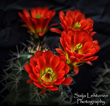 "Photo: ""Orange Hedgehog Cactus""  © Saija Lehtonen Photography  #Floral #Macro #Nature #Flowers"