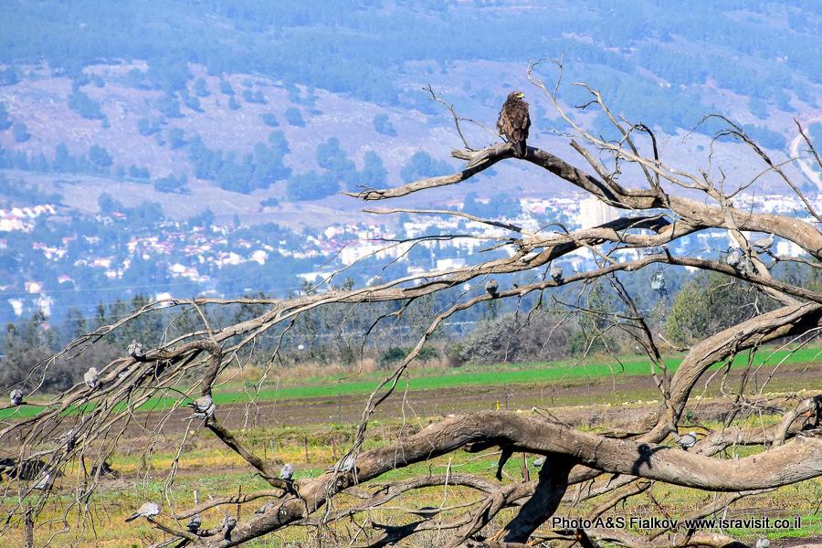 Большой подорлик и другие птицы Израиля в долине Хула.