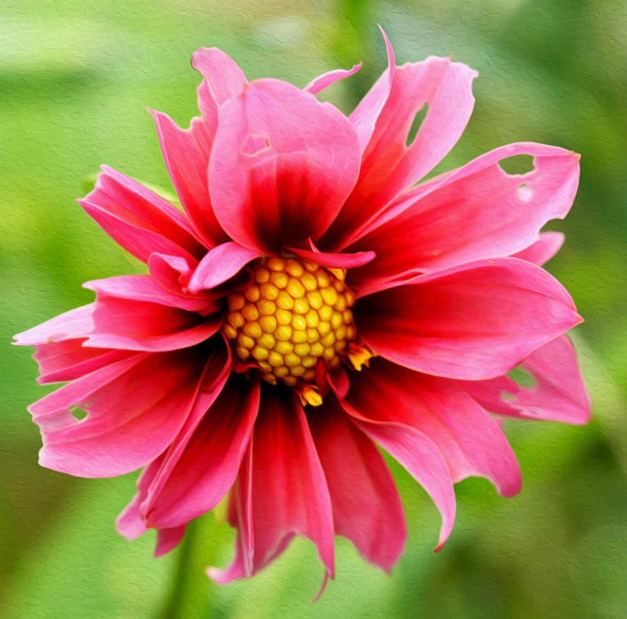Colour contrast by Stephen Crawford - Flowers Single Flower ( contrast, macro, single, red, garden, flower, yellw,  )