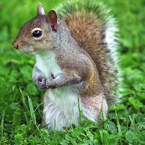 by Anita Frazer - Animals Other Mammals ( eastern gray, sitting up, squirrel, mammal,  )