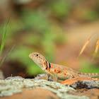 Eastern Collared Lizard (female)
