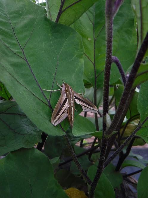 きれいな模様のセスジスズメガ。幼虫の頃に、いっぱい里芋の葉を食べていました。