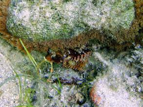 Photo: Dendrochirus brachypterus (Fuzzy Dwarf Lionfish), Siquijor Island, Philippines