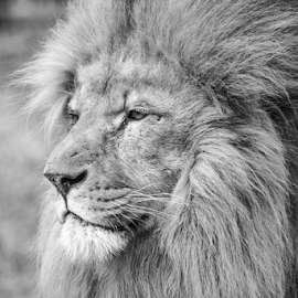 Lion by Garry Chisholm - Black & White Animals ( nature, mammal, big cat, lion, garry chisholm )