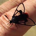 Scarlet-tipped Wasp Mimic Moth