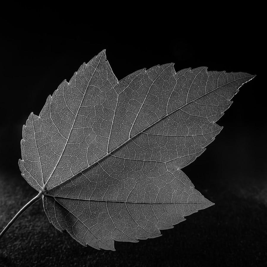 Red Maple Leaf by Mike Lacy - Black & White Flowers & Plants ( b&w leaf, red maple leaf, acer rubrum, b&w maple leaf, red maple )