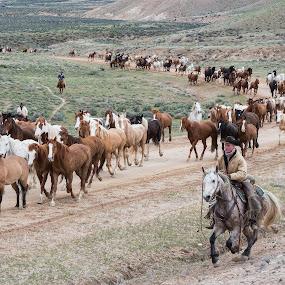 Great American Horse Drive by Gwen Paton - Animals Horses ( horses, cowboys, horse drive, colorado, craig colorado,  )