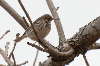 Photo: Meadow Pipit (Wiesenpieper); Inchnadamph, SCOT