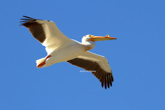 Photo: White Pelican