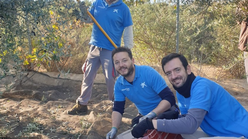 Recogida de la oliva por voluntarios de La Caixa