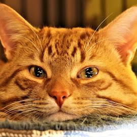 Webster by Linda    L Tatler - Animals - Cats Portraits (  )