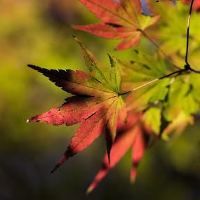 Autumn Leaves in Japan by Shreyas Kumar - Nature Up Close Leaves & Grasses ( autumn, fall, light, maple leaf, kamakura japan,  )