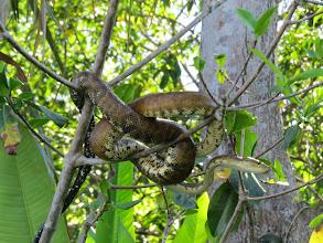 Photo: tree boa