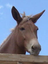 Photo: A younger Rosie (the mule)