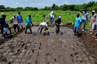 Photo: Transplanting at intersection of the grid (seedlings were too old - but were used for training purpose only as young seedlings were not available that day); Ferrier, Haiti, June 2010 [Photo by Erika Styger]