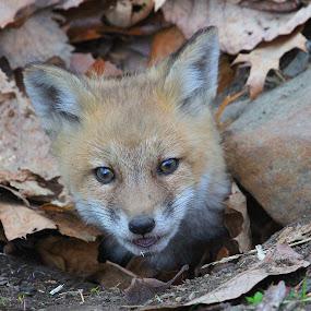 Fox Kit by Ken Keener - Animals Other Mammals ( fox, fox kit, baby, foxes, baby fox )