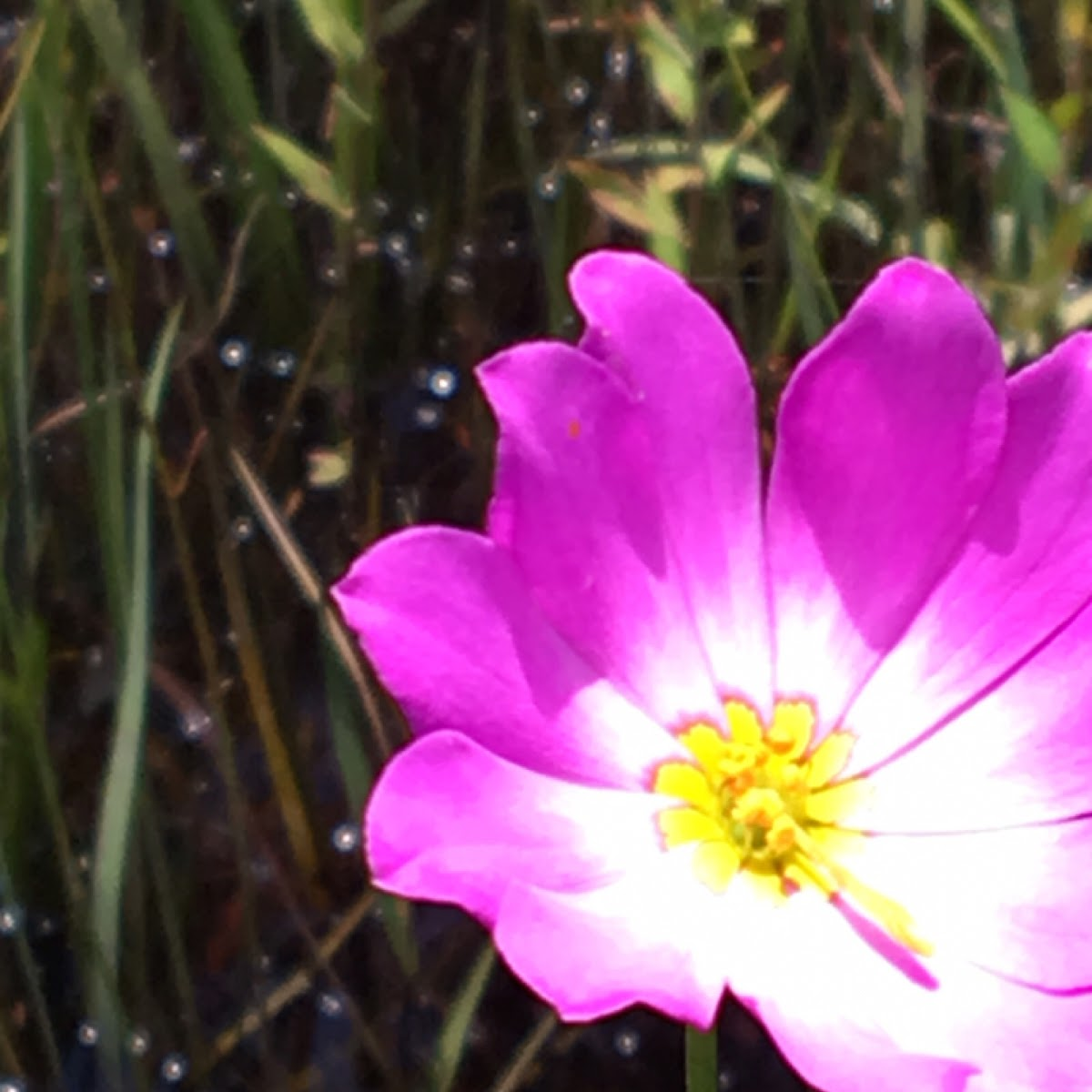 Bartram's Marsh Pink?