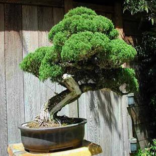 Ornamental Plant Bonsai - náhled