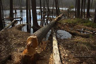 Photo: Beaver-felled black cherry tree