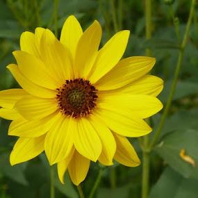 Yellow by Helena Moravusova - Flowers Single Flower ( nature, yellow, flower )