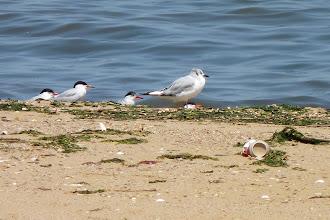 Photo: Bonaparte's Gull