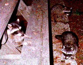 Raccoon raid at Humboldt Redwoods State Park.