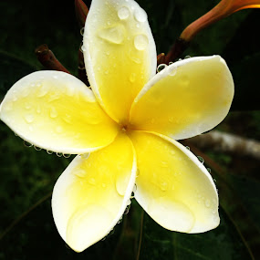 Plumeria by Nicolas Los Baños - Instagram & Mobile iPhone ( plumeria, tropical, garden, hawaii, flower,  )