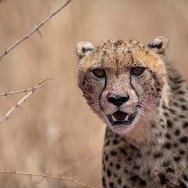 Cheetah by Ronnie Bergström - Animals Lions, Tigers & Big Cats ( nikon, nature, cheetah, animal, south africa, animals, portrait, wild, wildlife )