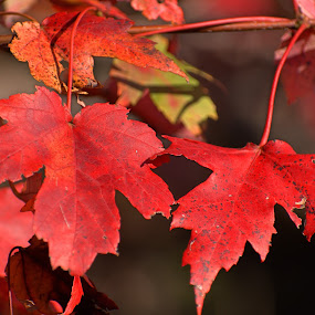 Red Maple leaves changing color by Bill Martin - Nature Up Close Leaves & Grasses ( red, seasons, leaves, color, fall, nature, tree )
