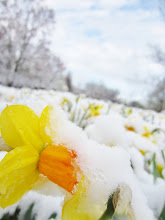 Photo: Yellow daffodils under snow and a blue sky at Cox Arboretum in Dayton, Ohio.