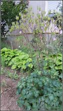 Photo: Căldăruşe, Columbine (Aquilegia vulgaris) - din Turda, Str. Rapsodiei, spatiu verde - 2018.05.17
