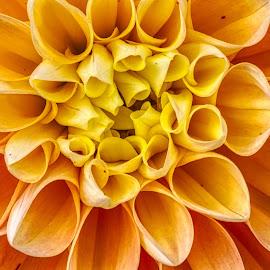 by Jim Jones - Flowers Single Flower ( flowers, color, dahlia, dahlias, flower )