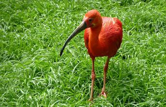 Photo: Roter Sichler od. Scharlachibis (Eudocimus ruber) 1 Verbreitungsgebiet: Küsten von Venezuela bis NO-Braslien