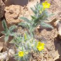 Arabian primrose