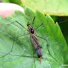 Crane fly, female