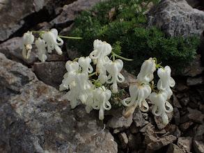 コマクサの白花